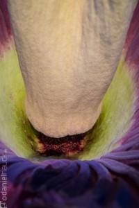 Amorphophallus titanum-3